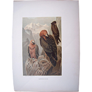 1885 Color Lithograph Vultures Plate by Prang