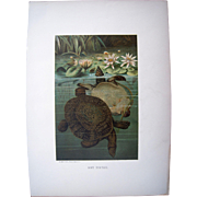 1885 Color Lithograph Plate of Turtles by Prang