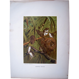 1885 Color Lithograph Plate of Mice by Prang (2 Available)