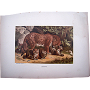 1885 Color Lithograph Plate of Leopard by Prang