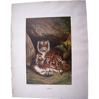 1885 Color Lithograph Plate of Tiger by Prang