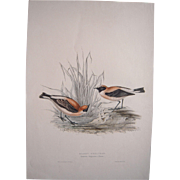 """Large Hand Colored Lithograph """"Russet Wheatear"""" by J and E Gould"""