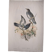 """Large Hand Colored Lithograph """"Chichloselys Sibiricus"""" by J. Gould and W. Hart"""