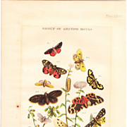 "Victorian Era Color Lithograph""Group of British Moths"""