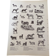 "Breeds of Dogs Engraved Monochrome Print 1900 12"" x 8. 1/2"""