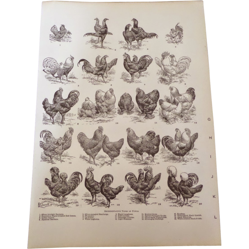 "Types of Fowl Hens Chickens etc. Engraved Pint 1900 12"" x 8. 1/2"""