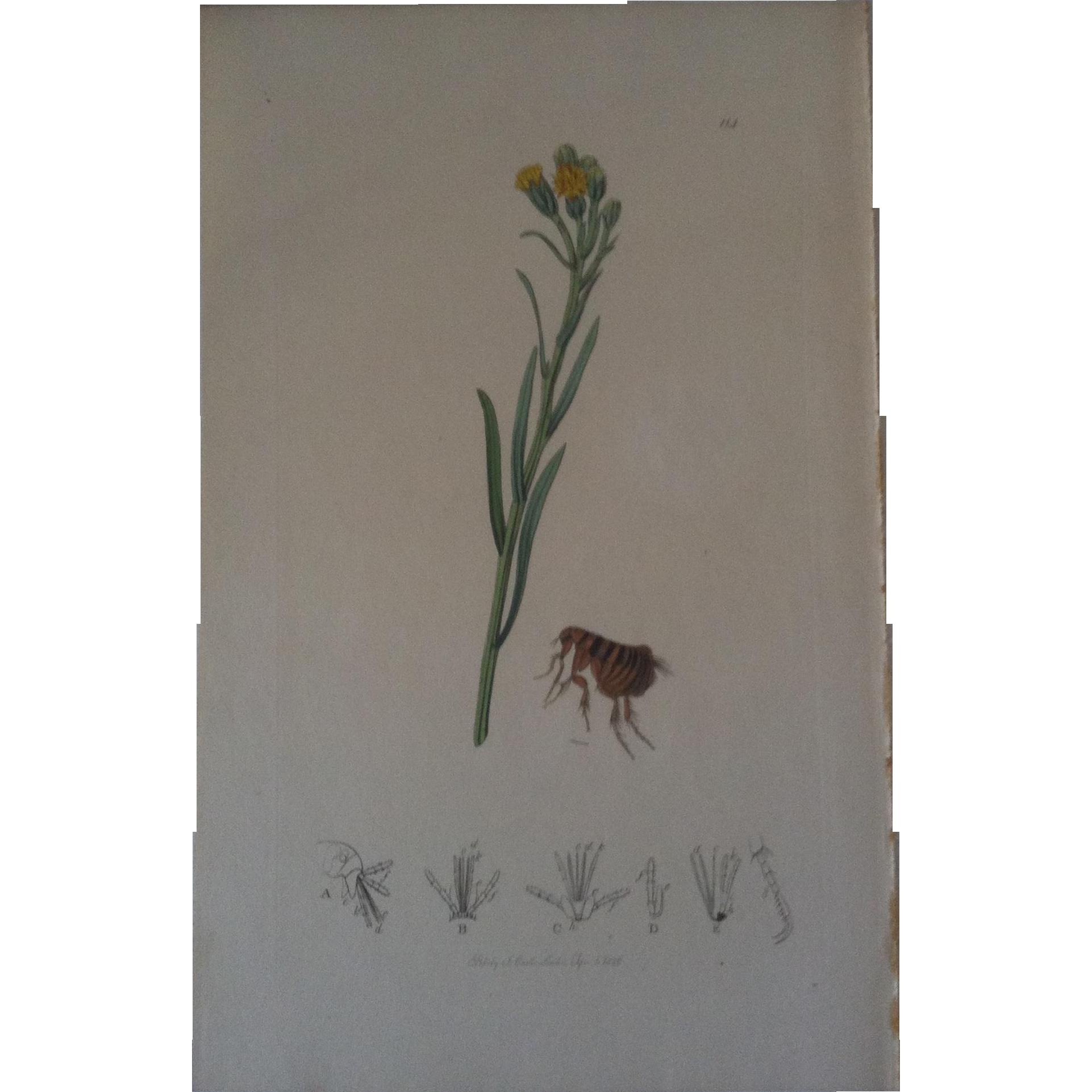 John Curtis plate # 114 - Pulex Talpae , mole's flea