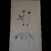 John Curtis plate # 210 - Anopheles Bifurcatus