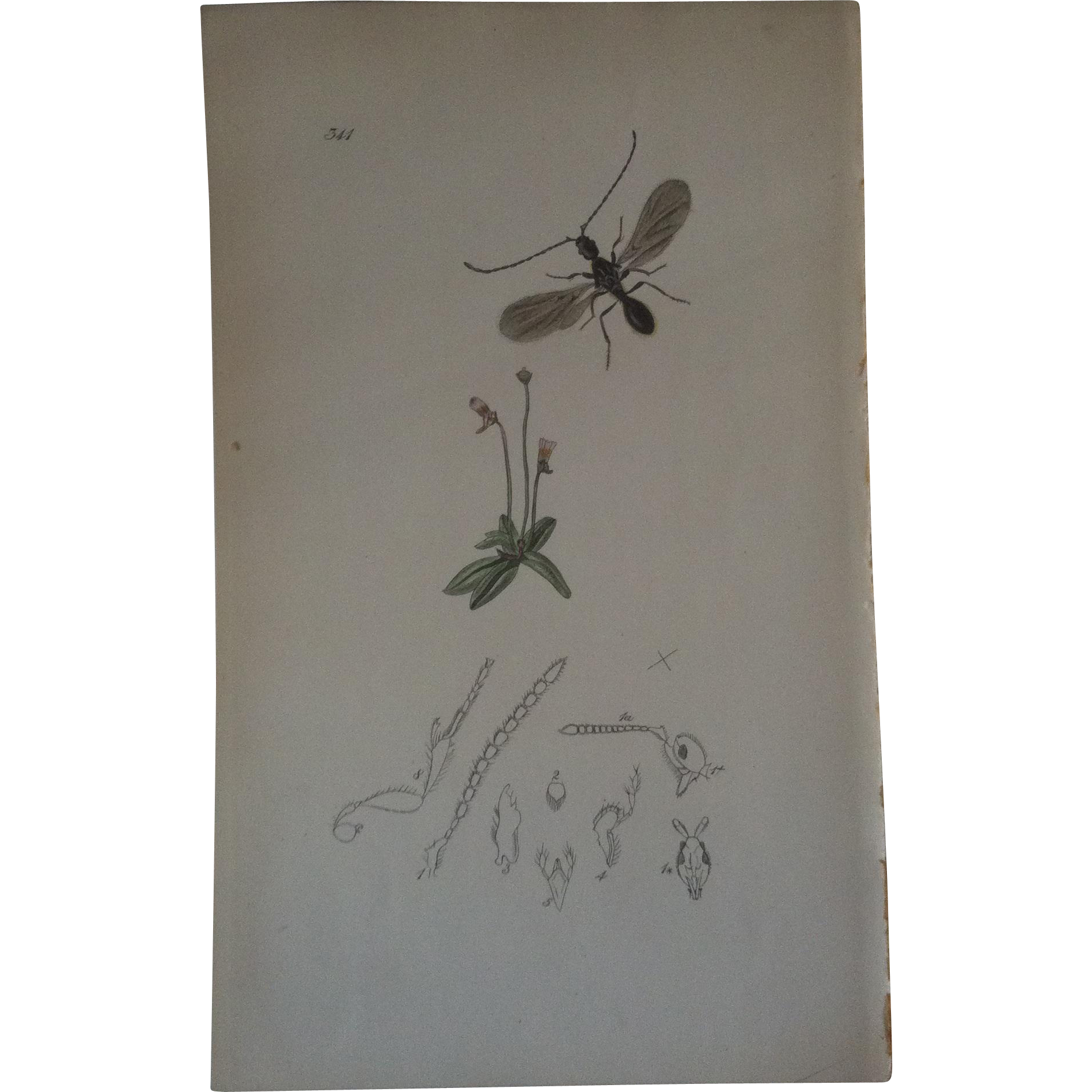 John Curtis Plate # 341 ~ Galesus Fuscipennis