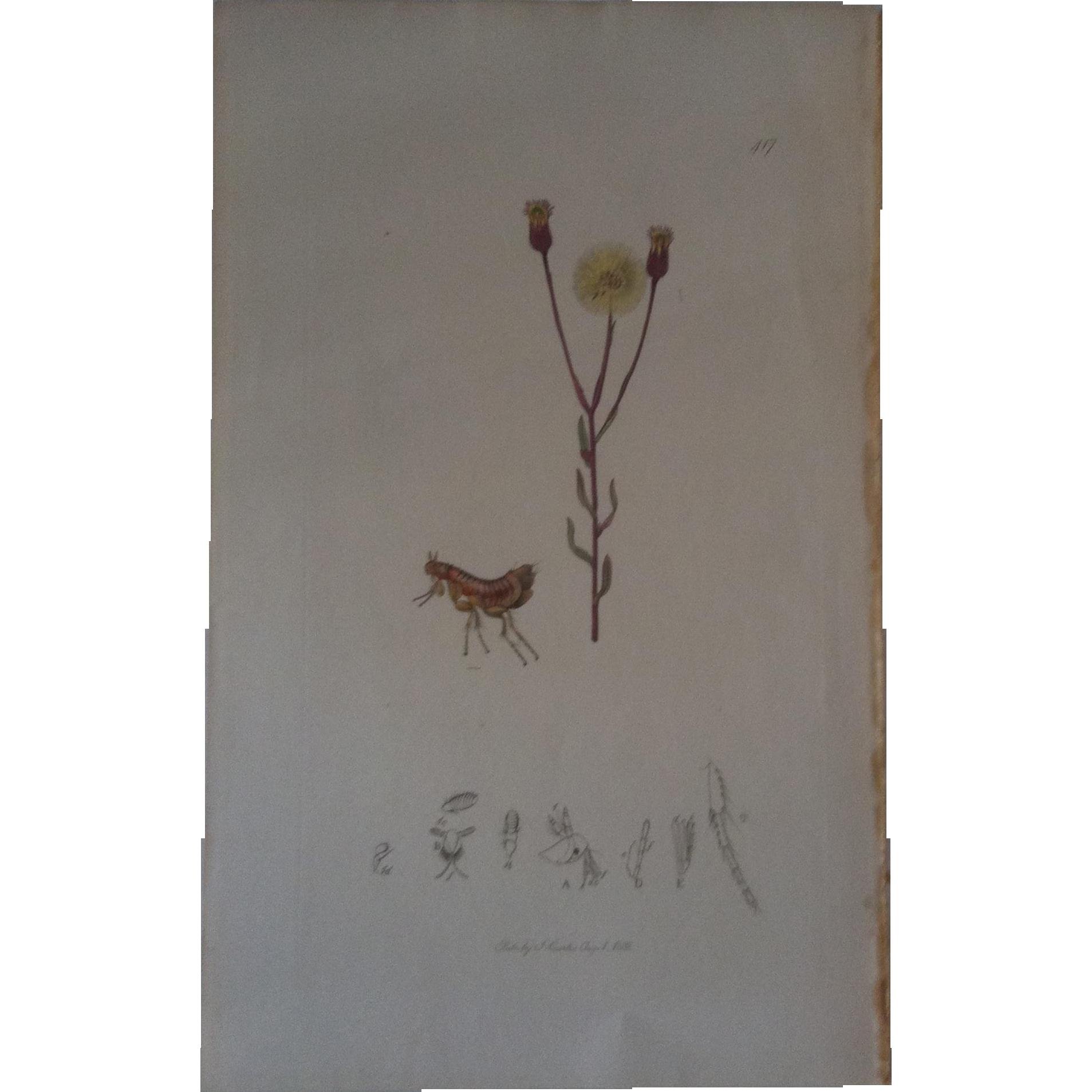 John Curtis Plate # 417 ~ Ceratophyllus  Elongatus ~ yellow bat's flea
