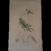 John Curtis Plate #537- Culex Guttatus ~ gnat or mosquito