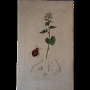John Curtis ~ Cimex Lectularius , Bedbug  #569