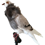 Old French Taxidermy Dove Pigeon on a Black Wooden Footstool
