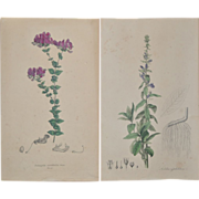Pair of 19th Century Hand Colored Botanical Lithographs