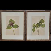 Botanical Prints - Pair - 19th Century