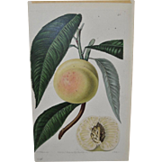 1830s Hand Colored Botanical Engraving