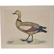 """P.J. Selby (England, 1788-1867) """"Ruddy Duck"""" Hand Colored Engraving 19th Century"""