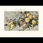 1909 Botanical Rose Lithograph