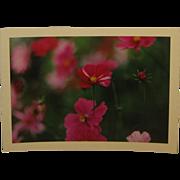 Vintage 1964 DANIEL FARBER 'Cosmos & Bud' Flower Photo - Listed Gravestone Photographer