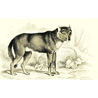 1838 Jardine Original Hand Colored Dog Engraving #1 Common Wolf-Europe.