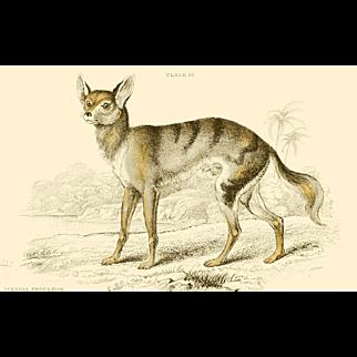 1838 Jardine Original Hand Colored Dog Engraving Senegal Dog.