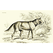 1838 Jardine Original Hand Colored Dog Engraving unknown Dog  Plate #22