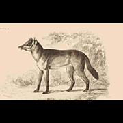 1838 Jardine Original Hand Colored Dog Engraving Aguara Dog of the Woods Plate #24.