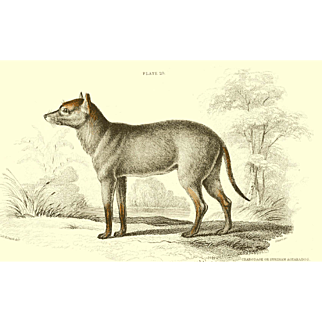 1838 Jardine Original Hand Colored Dog Engraving Surinan Aguara Dog  Plate #25