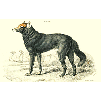 1838 Jardine Original Hand Colored Dog Engraving Dusky Wolf of Canada  Plate #3