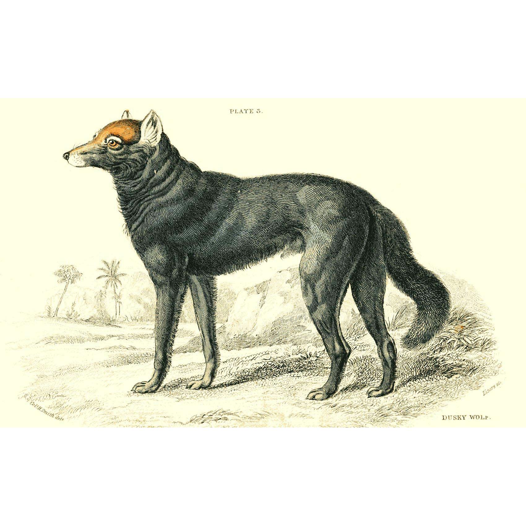 1838 Jardine Original Hand Colored Dog Engraving Dusky Wolf of Canada  Plate #3