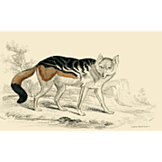 1838 Jardine Original Hand Colored Dog Engraving Cape Dog.