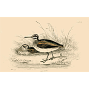 1833 Jardine Original Hand Colored Engraving Jack Snipe Plate #12.