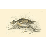 1833 Jardine Original Hand Colored Engraving common Thick-knee Plate #4.