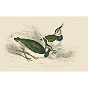 1833 Jardine Original Hand Colored Engraving Green Lapwing Plate #25