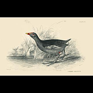 1833 Jardine Original Hand Colored Engraving common Gallinule Plate #32.