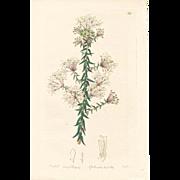 3 Original  Ridgeway Botanical Engravings #11