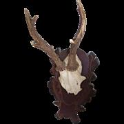Gorgeous Taxidermy Deer Antler Hunting Hunt Trophy * Vintage German