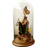 Vintage Real Butterfly Birdwing Troides brookiana, Monarch, Lemon, encased Professionally mounted on  Burl Driftwood with Glass Dome Wood Stand