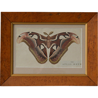 Antique Moth Lithograph by Nodder of London 1789