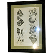 Rare Print of Mollusks/Sea Shells, Framed