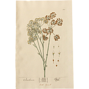 18th Century Floral Copper Engraving of Dill out of the Herbarium of ELIZABETH BLACKWELL HANDCOLORED