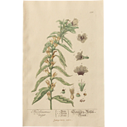 18th Century Floral Copper Engraving of  Black Henbane  out of the Herbarium of ELIZABETH BLACKWELL HANDCOLORED