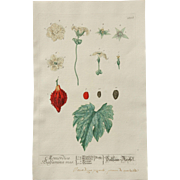 "18th Century Floral Copper Engraving of ""Balsam-Pear"" - ""Momordica Charantia"" out of the Herbarium of ELIZABETH BLACKWELL HANDCOLORED"