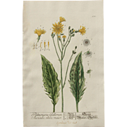 """18th Century Floral Copper Engraving of Hieracium - """"Hawkweed"""" out of the Herbarium of ELIZABETH BLACKWELL HANDCOLORED"""