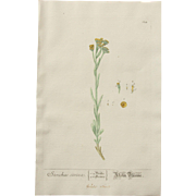 18th Century Floral Copper Engraving of Rhine Flower out of the Herbarium of ELIZABETH BLACKWELL HANDCOLORED