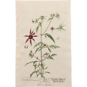 18th Century Floral Copper Engraving of Three-lobe Beggarticks out of the Herbarium of ELIZABETH BLACKWELL HANDCOLORED