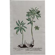 18th Century Floral Copper Engraving of Christmas Rose with green Flower from the Herbarium of ELIZABETH BLACKWELL HANDCOLORED