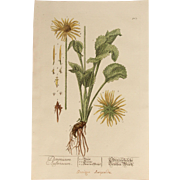 18th Century Floral Copper Engraving of an Austrian Leopard's Bane from the Herbarium of ELIZABETH BLACKWELL HANDCOLORED