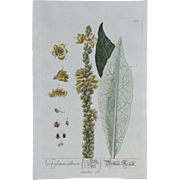 18th Century Floral Copper Engraving of a Nettle-Leaved Mullein from the Herbarium of ELIZABETH BLACKWELL HANDCOLORED