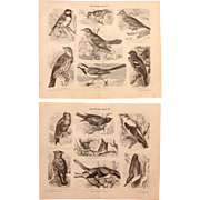 19th Century Set of two Prints of Passeriformes / Passerine Birds - 1878 Zoology Steel Engraving